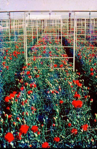 Die Rosenzucht von Nes Ammim hat den Exportweg für Blumen aus Israel nach Europa geöffnet.