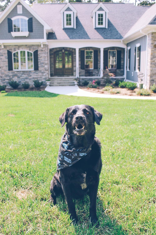 blacklabcarolinapanthersdog
