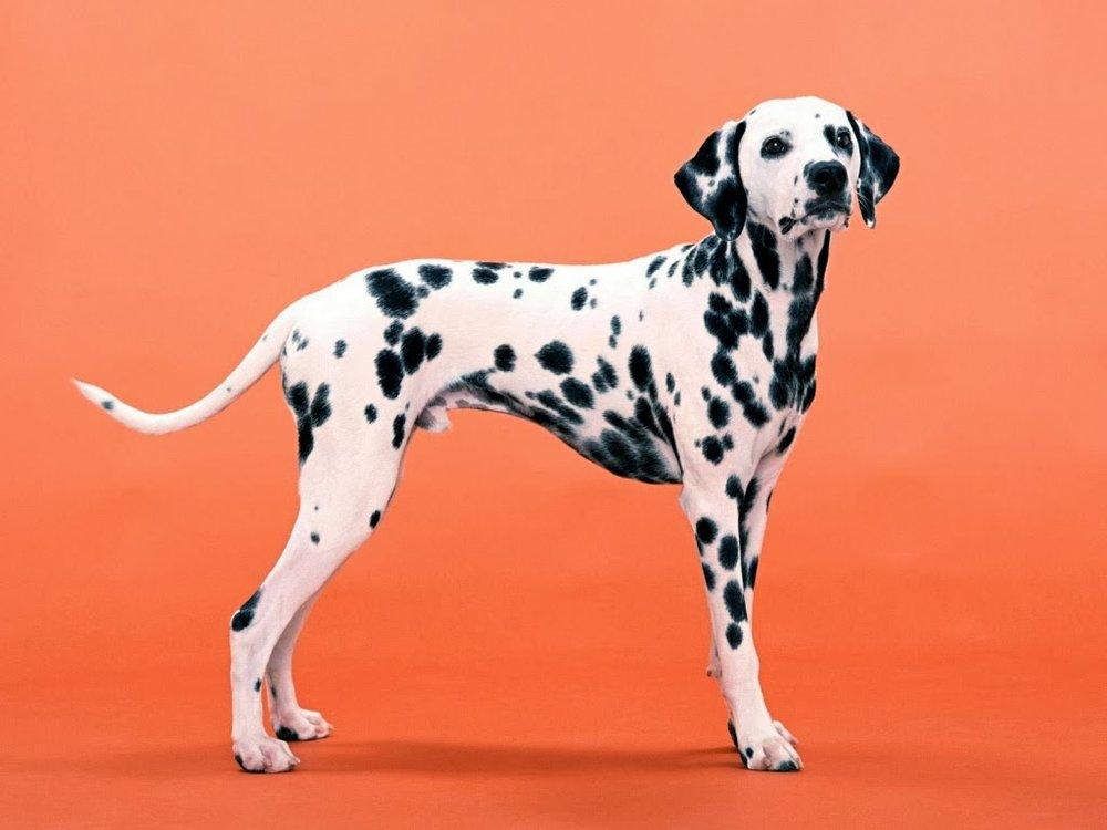 dalmatian unique spots