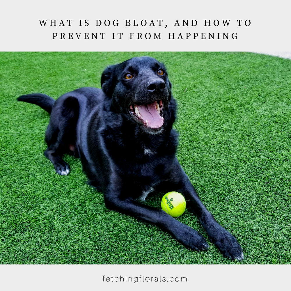 dogbloatpreventcausesbelly