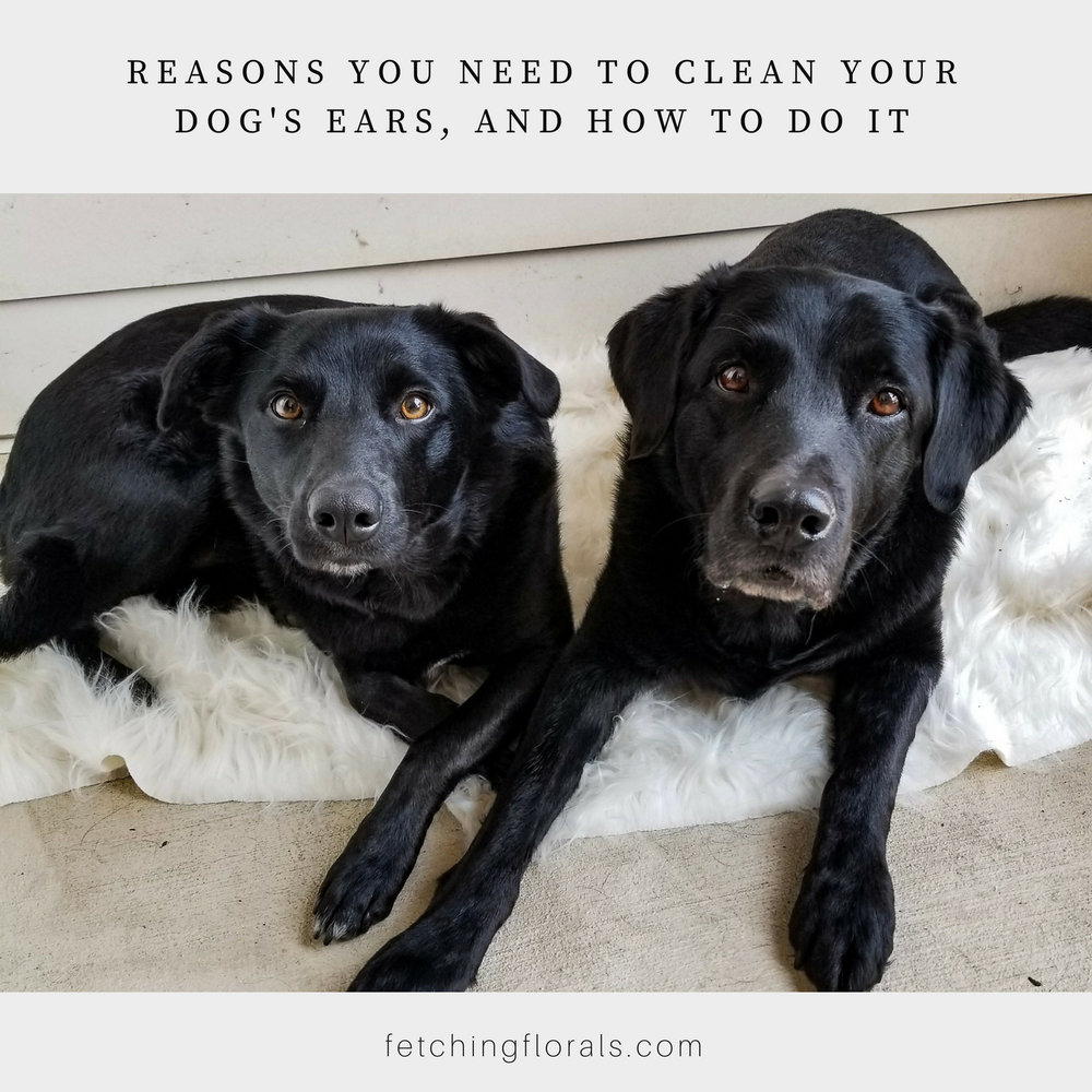 reasonstocleandogsearshowto