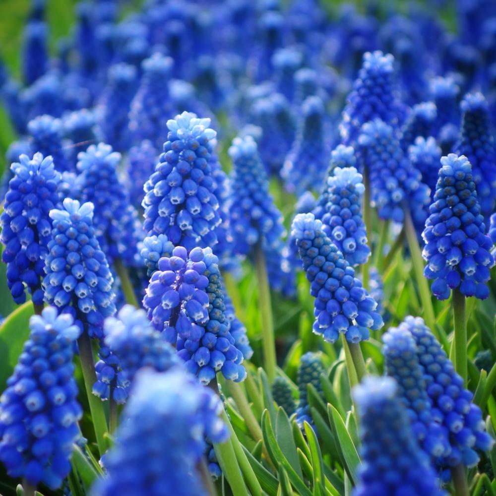Hyacinths in Keukenhof