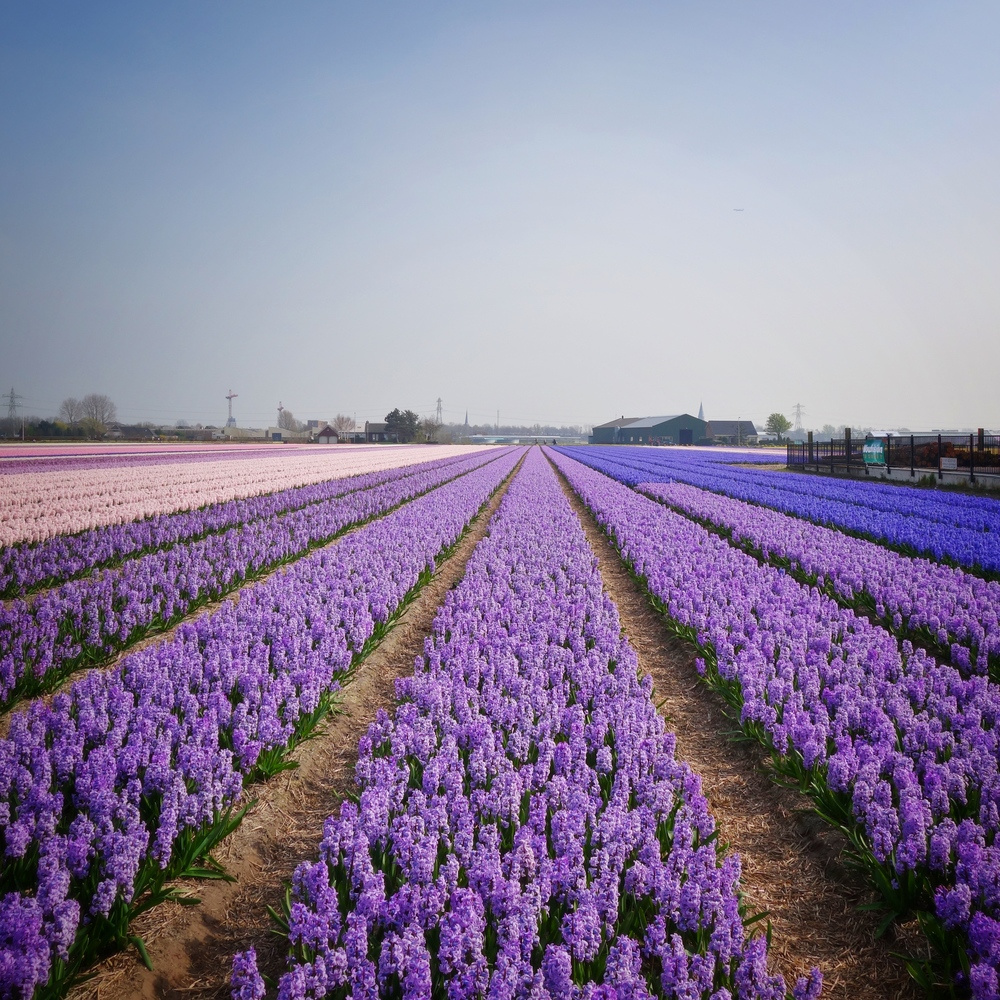 Hyacinth fields, Lisse, Netherlands