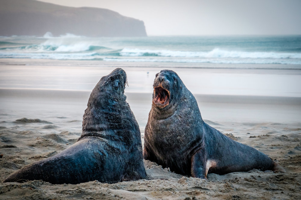 Sea Lions fighting