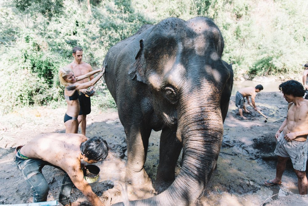 Spend an afternoon with a few adult elephants and their mahouts in Chiang Mai? Sign us up! We were able to visit Hug Elephant Sanctuary for an unforgettable afternoon with rescued tourist and logging elephants, in the countryside of Chiang Mai. We walked alongside these amazing animals, fed them sugar cane and bananas in the jungle, and got to give them a mud bath to end our day. The mahouts spend their entire lives looking after the elephants, and the bond between elephant and mahout is special to witness. Hug Elephant Sanctuary does not allow elephant riding, which hurts the elephants back and neck, instead they let the elephants roam freely and enjoy their lives in the wild. This elephant pictured above is 28 years old and weighs 6,000 pounds.