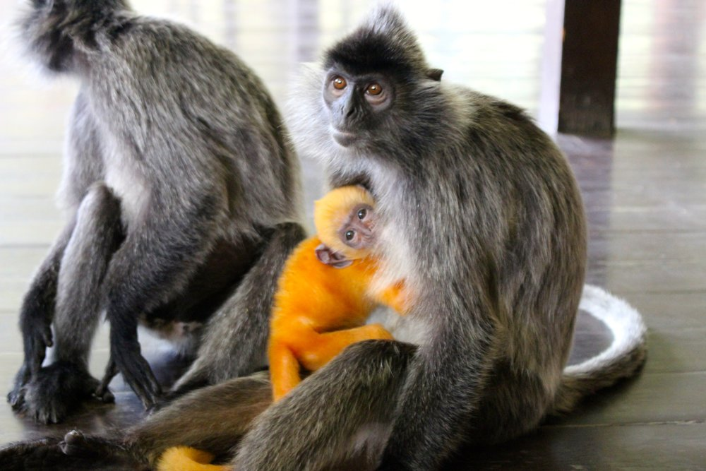 We were so fortunate to visit the Probiscus Monkey Sanctuary while in Borneo and meet our new favorite animal. The Silverleaf Lungur was so sweet, calm, and playful, l even chewing on Taylor's shoes when we encountered them in the wild. The little baby was an amazing bright orange color (no photoshop here) and will change over to a dark grey coat in 4 months time. Beautiful animals and a beuatufl day out in the wild.