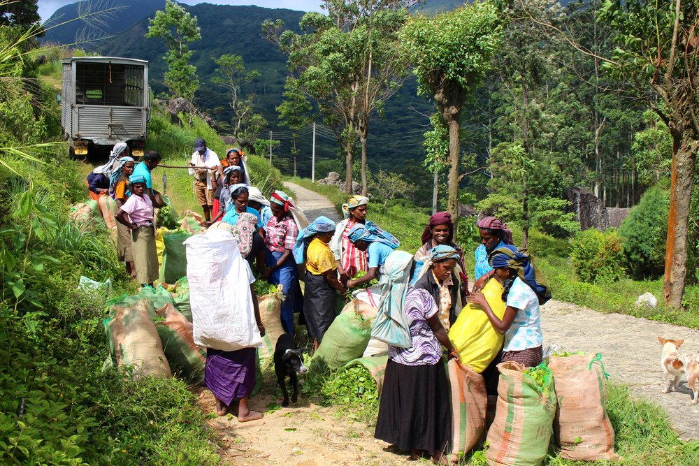 These hard working Tamil women work the beautiful hillside near the Knuckles Mountain Range each day plucking fresh tea leaves to earn an income. The goal is 18kg per day (almost 40lbs) and all the work is all done by hand and in bare feet. 7 days a week, these ladies show up and work to earn an average of $8.00 USD per day. This photo illustrates the final step of the process, as they have hiked up the side of the hill for the official weigh-in and to get paid from their supervisor.