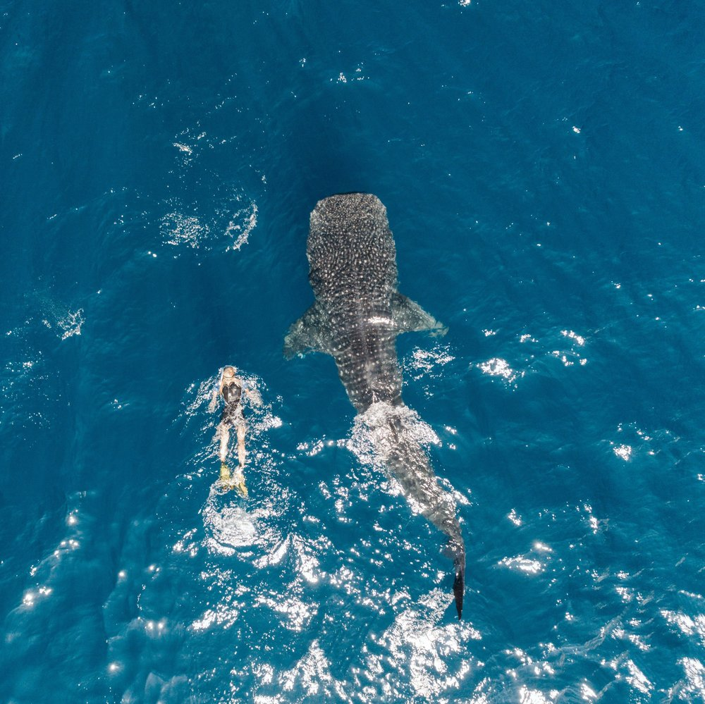 Ellen finally had her prayers answered, and was able to swim alongside a whale shark in Isla de Mujeres, Mexico. These gentle giants average 30 feet in length and 20,000 pounds but are known to be one of the friendliest in the sea.