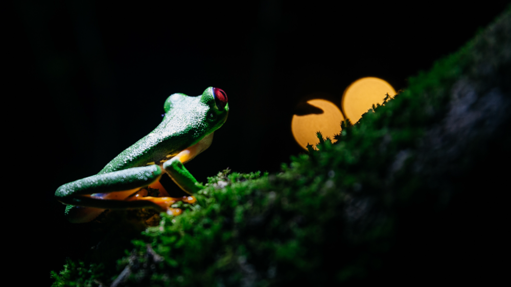 After searching for one of the classic symbols of Costa Rica for nearly 6 weeks, we finally found the red-eyed green tree frog (non-poisonous) in Punta Mona. It was worth the wait, as it sat peacefully on the mossy branch, and allowed us an up close encounter.