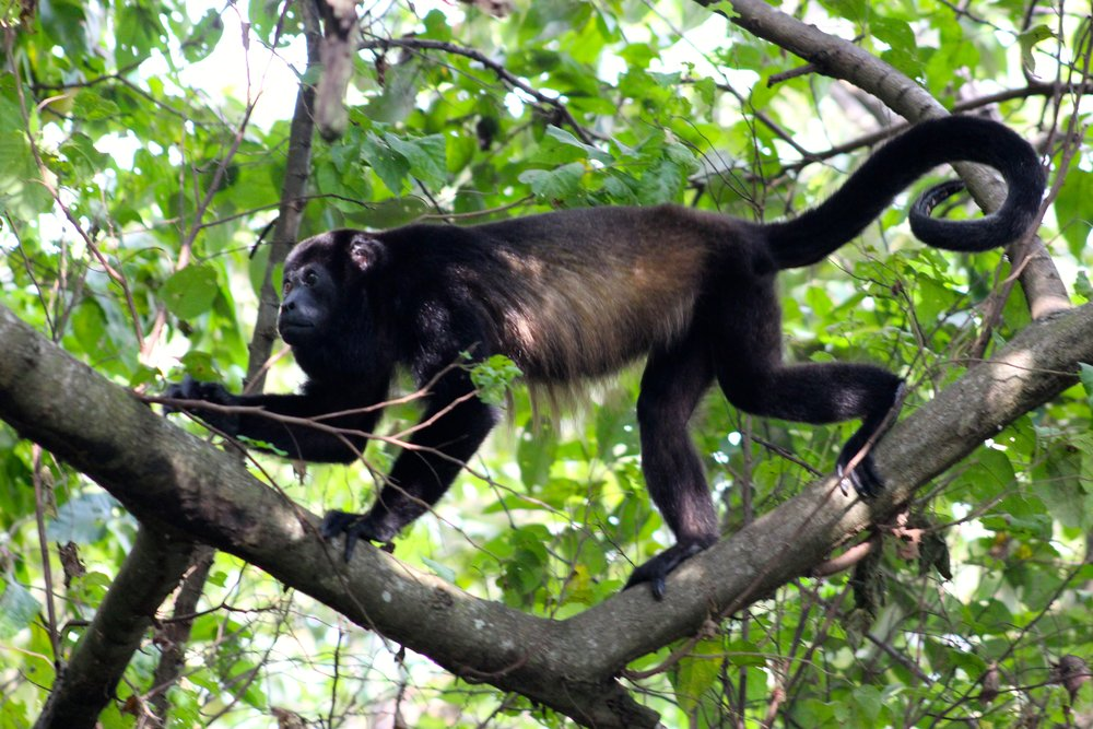 "Meet our friend, the howler monkey, who lived in the trees above our home in Nosara, Costa Rica. Every morning during our 6 week stay, he and others doubled as our personal alarm clock with their loud ""howl"" at 5:15am sharp. Their howl can carry thru dense rainforest for up to 3 miles. The cute monkeys also make for great night time security systems, as they also howl if they see any movement down below after dark."