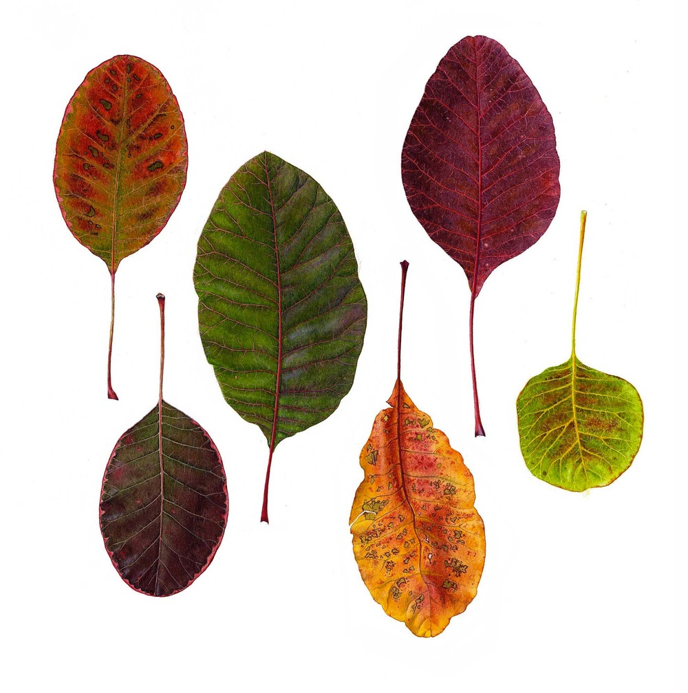 Cotinus Leaves