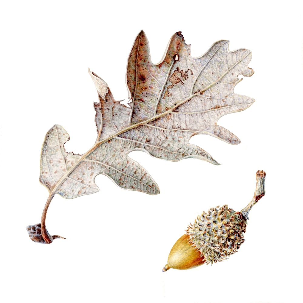 Oak Leaf and Acorn