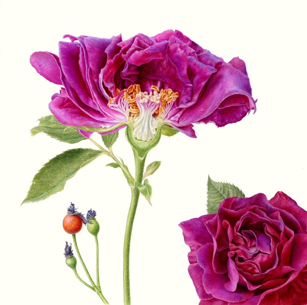 Rosa 'Souvenir de Docteur Jamain'