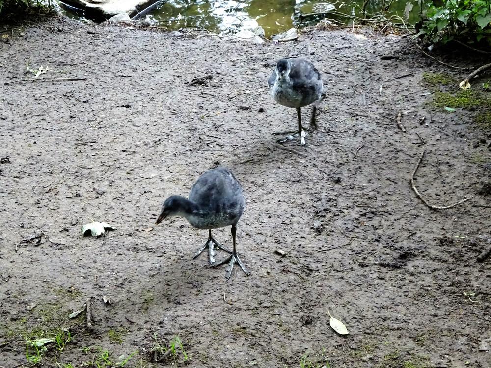 "Это птенцы ""болотной курицы"" - лысухи."
