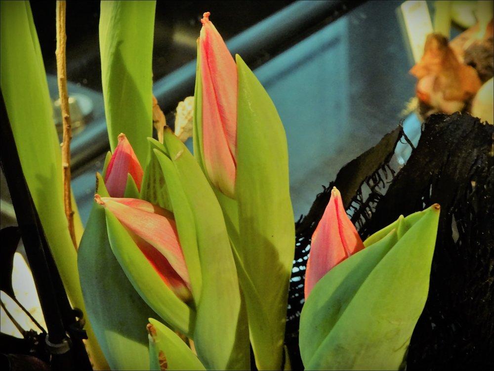 А это я в луковицах тюльпаны купила, с целью пересадить их в садик. Первые уже на подходе!