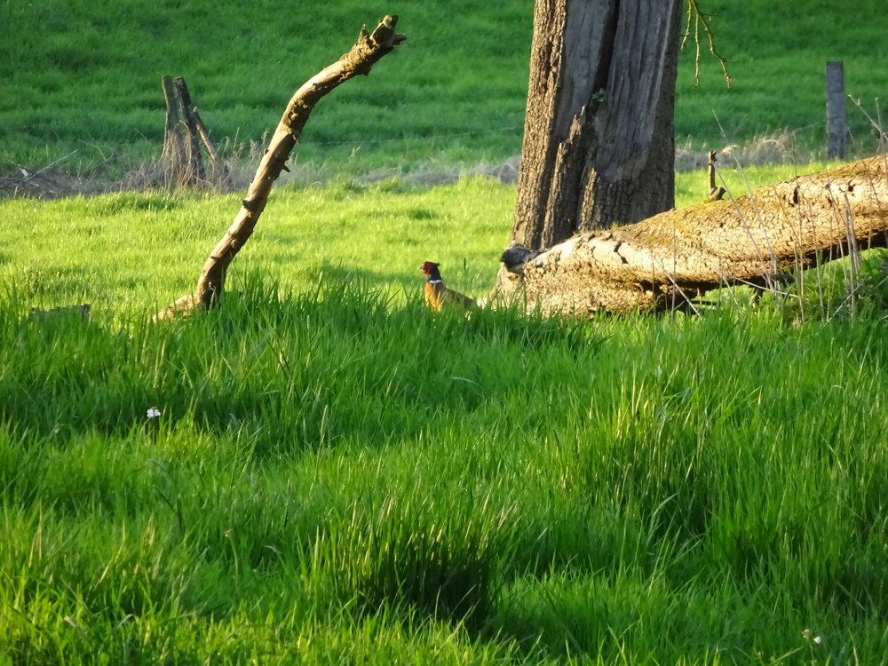 2 апреля 2017 года. Да, у нас так вот зелено и заповедно. Не в зоопарке:Вольный дюссельдорфский фазан.