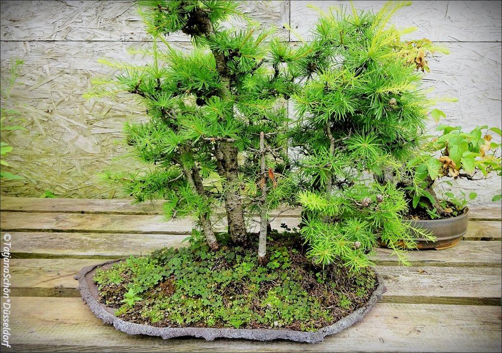 Bonsai05.JPG