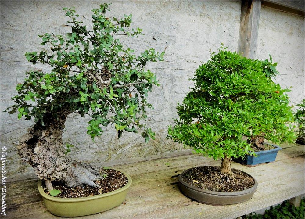 Bonsai17.JPG