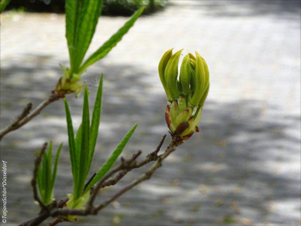 Почти цветок азалии жёлтой
