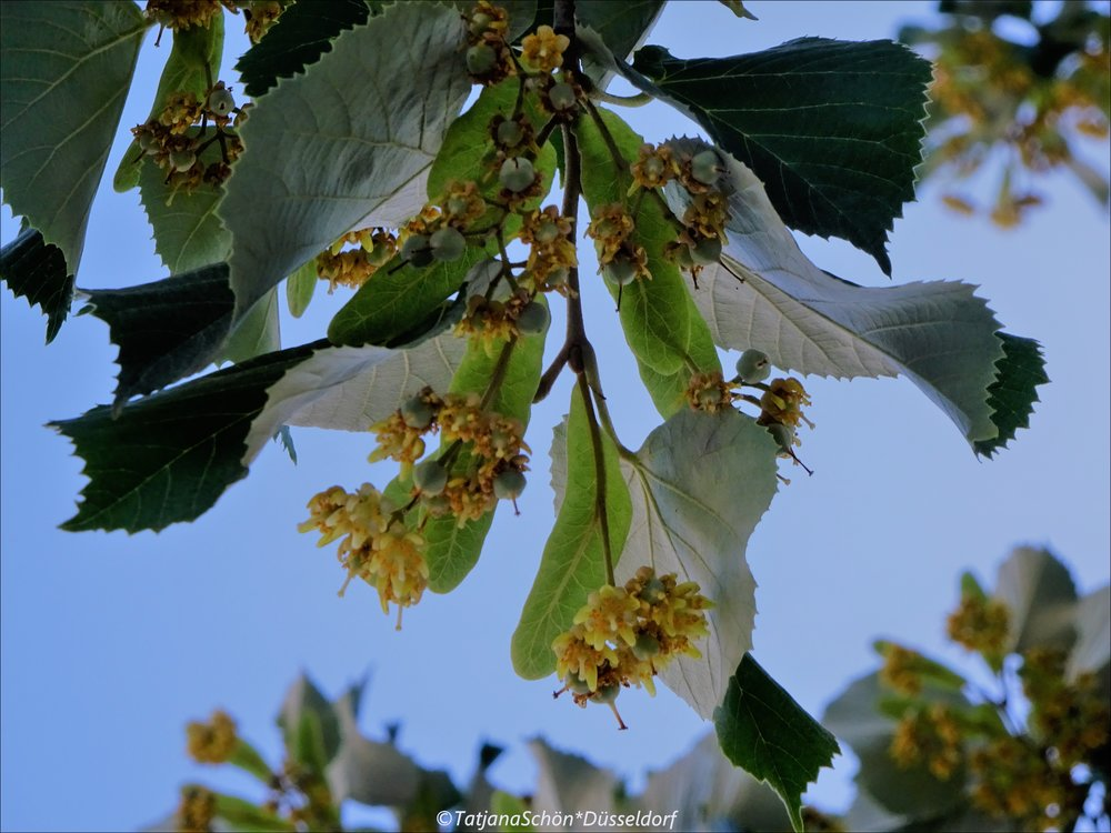 Липа серебристая (Tilia tomentosa *Szeleste)