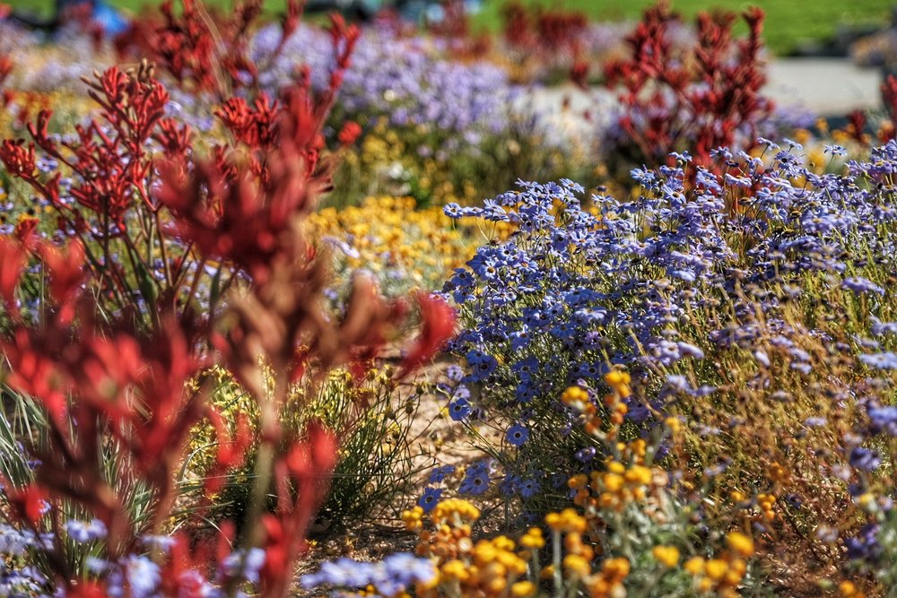 Wide flowers at King's park.