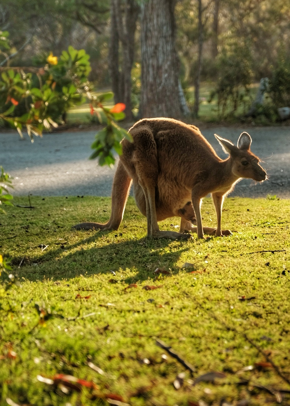 Kangaroo at Pinnaroo Cemetery.