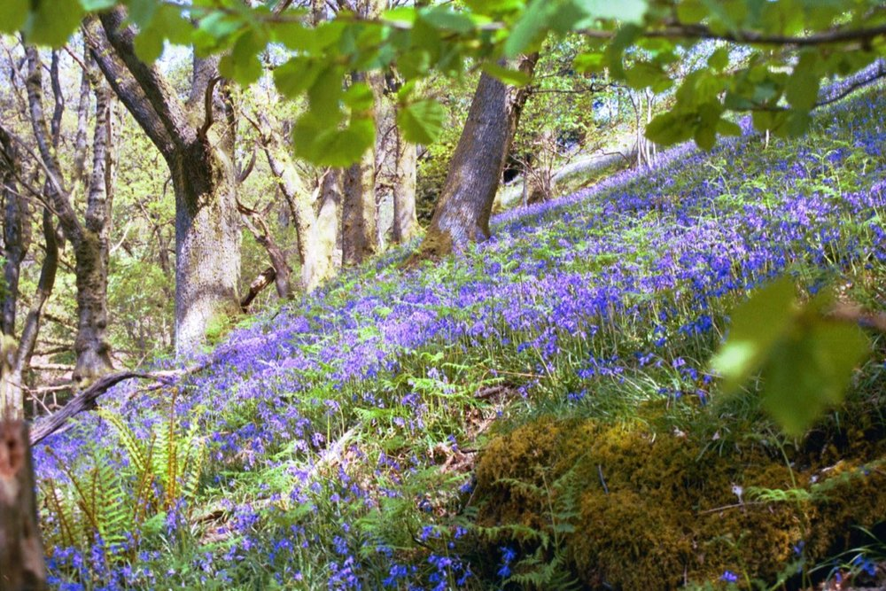 view bluebells 1108.jpg