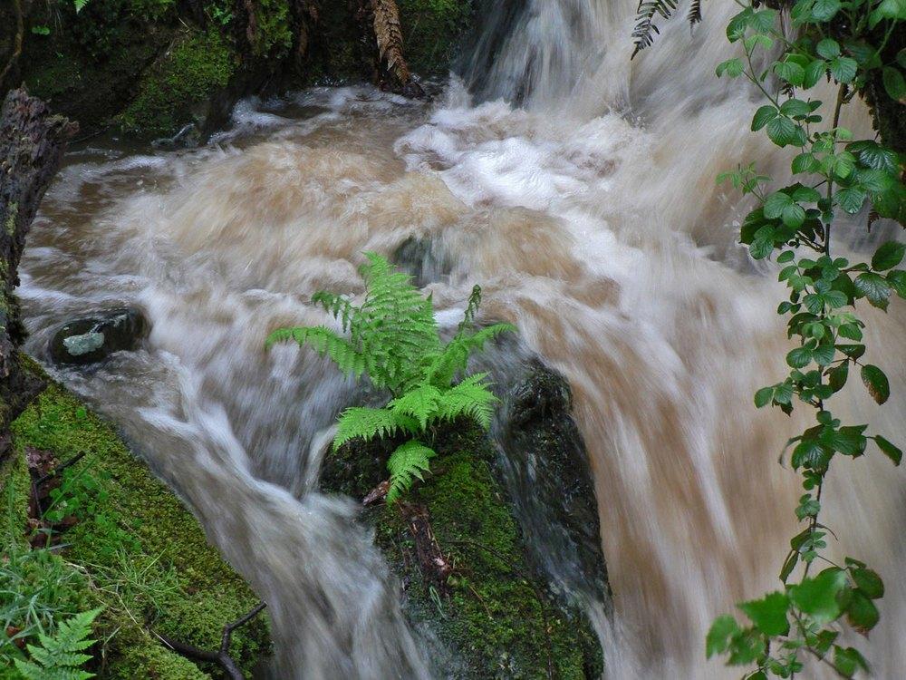 stream fern 1108.jpg