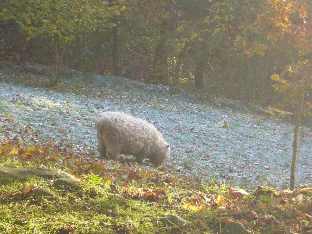 sheep eating leaves.jpg