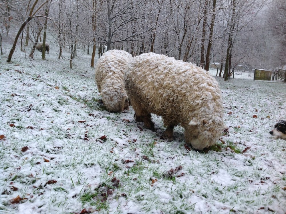 sheep eating snow.jpg