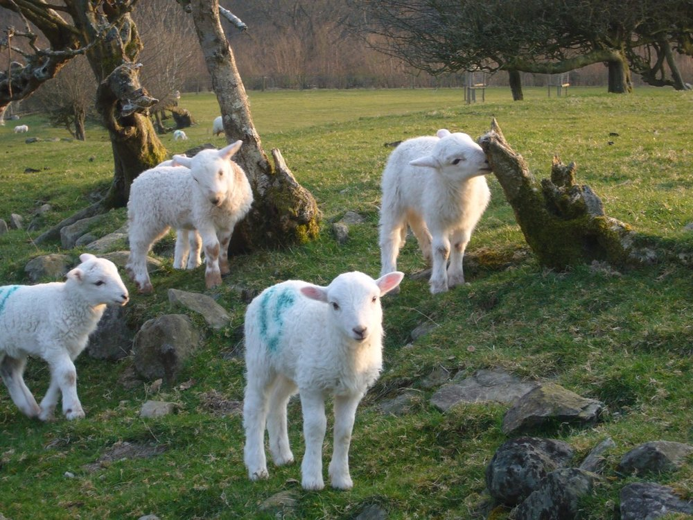 sheep lambs 0110.jpg