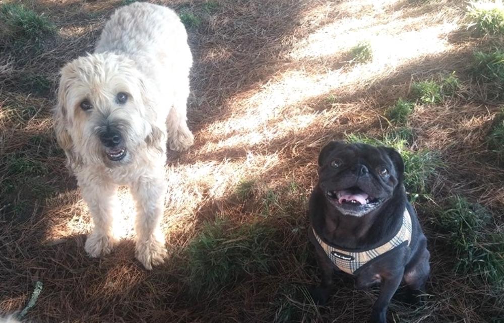 Goldendoodle and pug walker in Oakland and Berkeley.