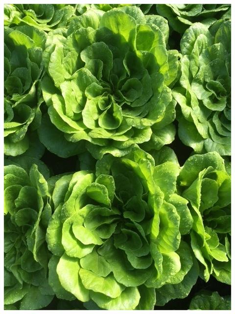 Green Butter Salanova