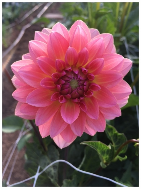 Sunset dahlia blooming in mid-June!