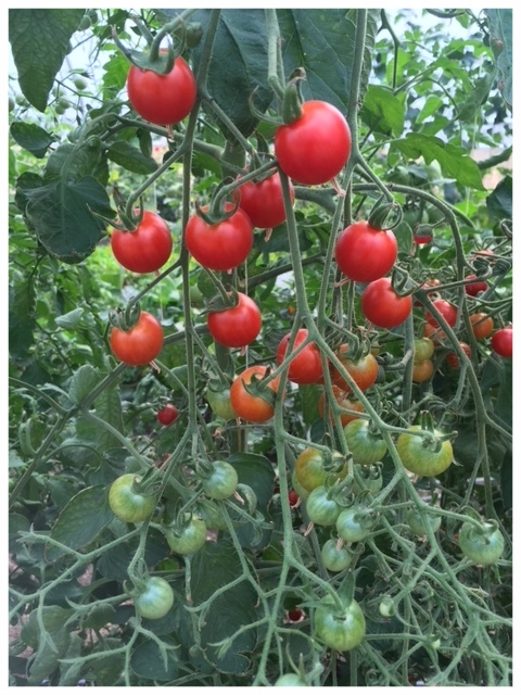 Supersweet 100 tomatoes