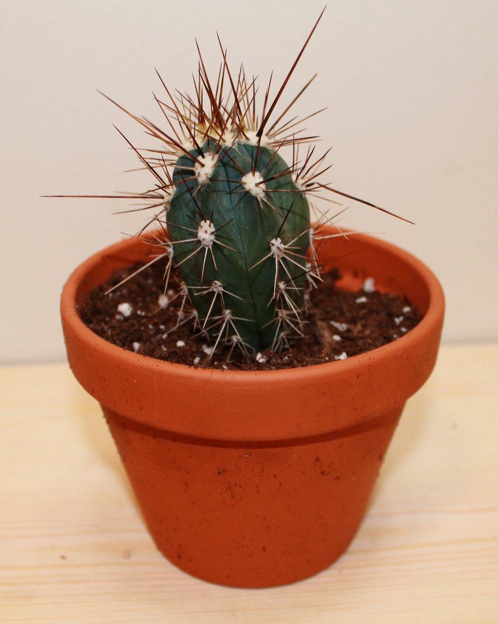 opuntia pineux cactus en ligne. Black Bedroom Furniture Sets. Home Design Ideas