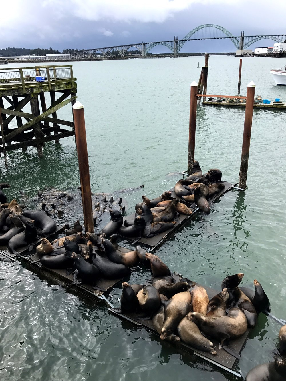 Sea Lions lounging on the dock in Newport, Oregon.