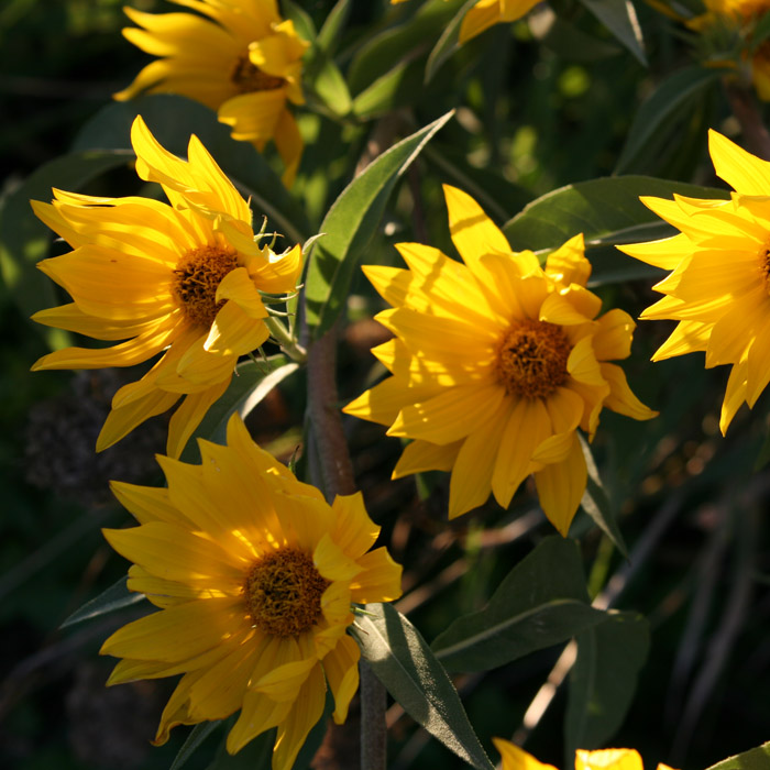 helianthus grosseseratus