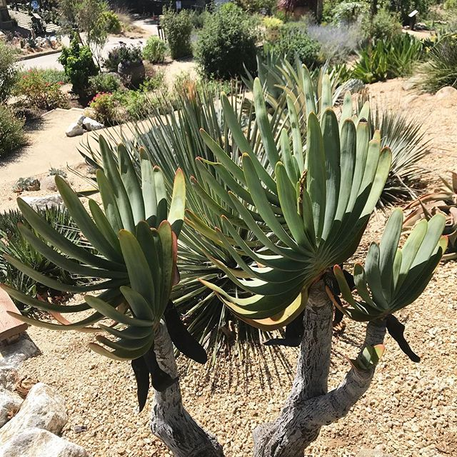 Aloe plicatilis - not a California native, but a new love 💕Thanks for always opening my eyes @mtothegoulet This amazing woman and fellow landscape architect has a poetic grasp of plants that totally blows me away! Please check out @wildlandworkshop and watch this one!!!!! #womeninspiringwomen #landscapearchitecture #newgrowth #aloeplicatilis #fieldtrip