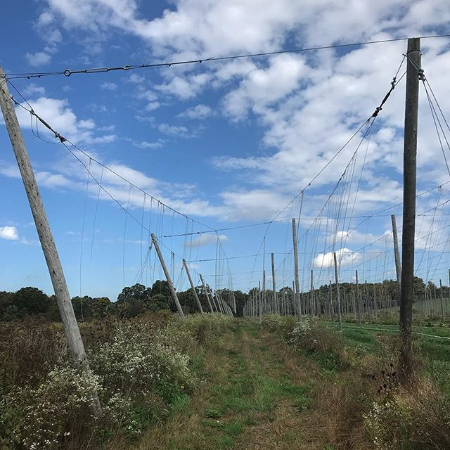 Naked hops trellis after this years' harvest, towering over a field of blooming white aster and exploding milkweed pods... Loved getting out to beautiful @flatwaterfarms last week! #certifiedorganichops #michiganbeer #puremichigan #lookup #lookdown