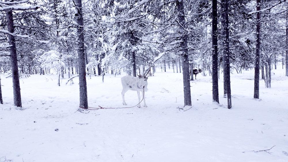 Reindeer lapland.jpg