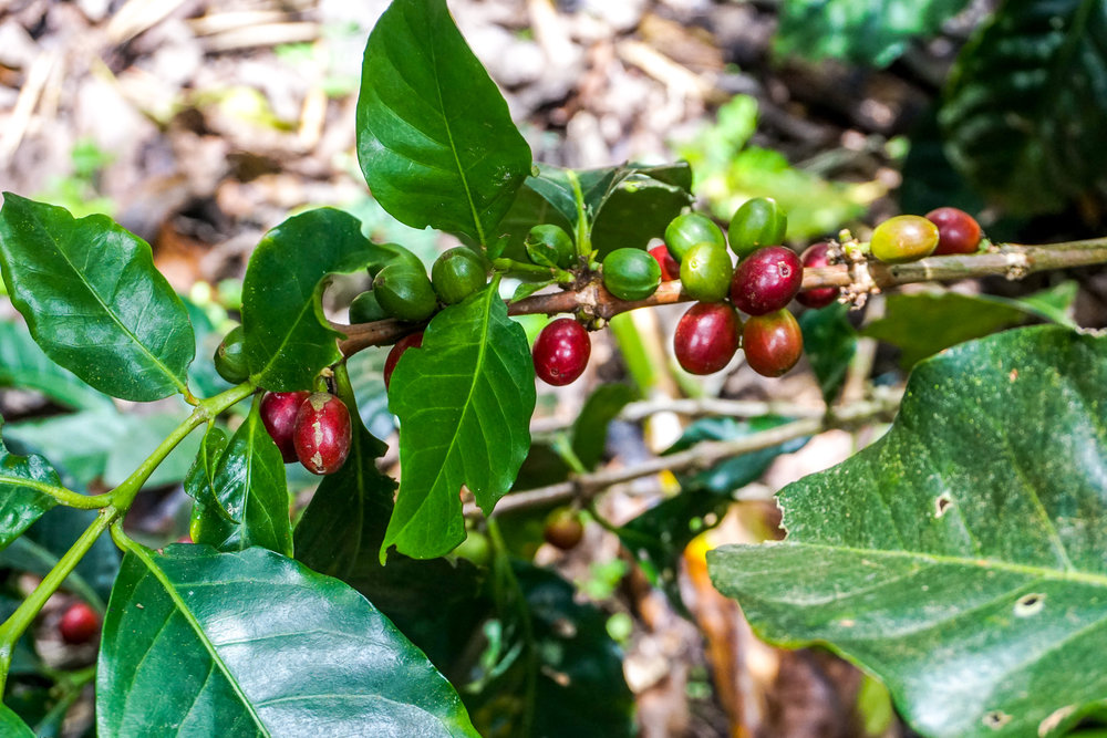 Copy of Coffee cherries