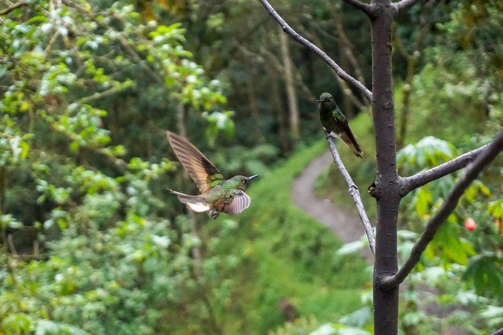 Hummingbirds at la Acaime