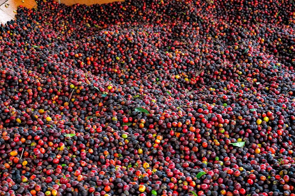 Cofee beans Salento.jpg