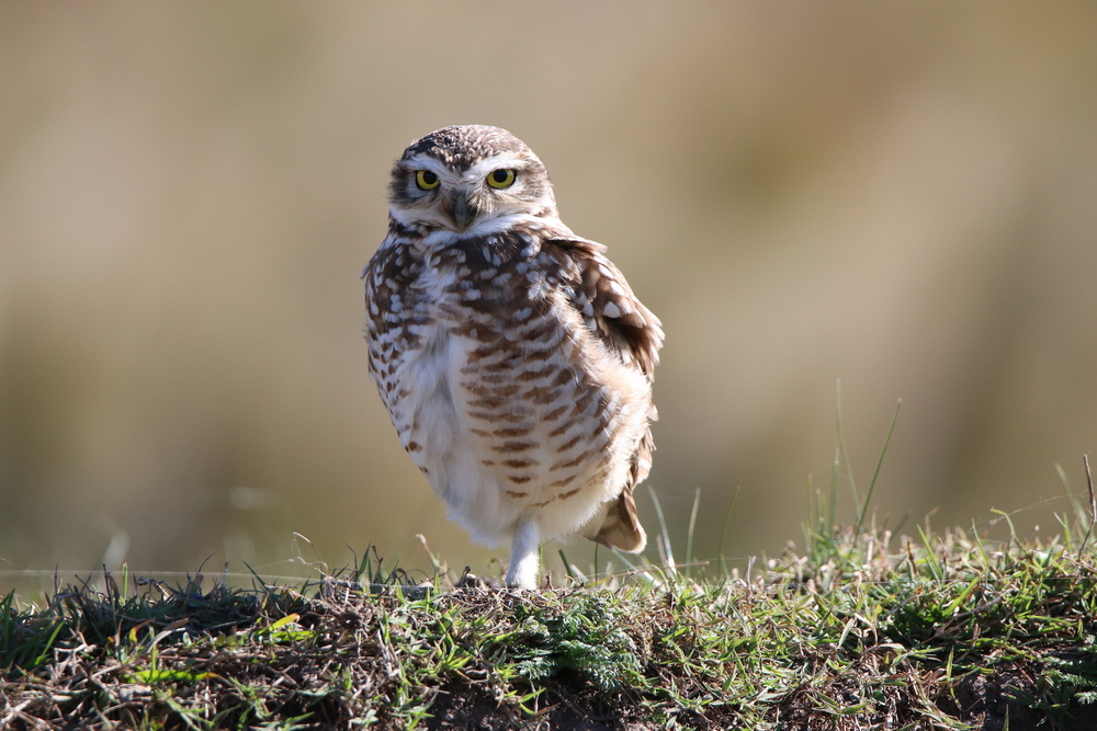 Photo of Owl taken near Córdoba in Argentina