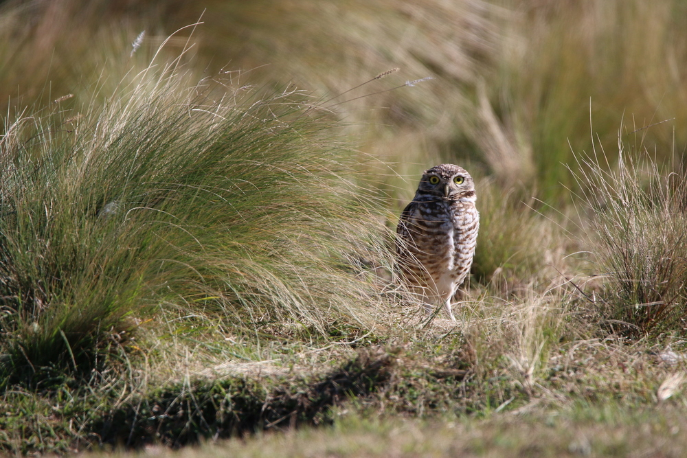 Burrowing Owl in  Córdoba Argentina