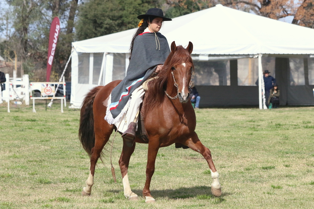 Peruvian Paso Horse Display