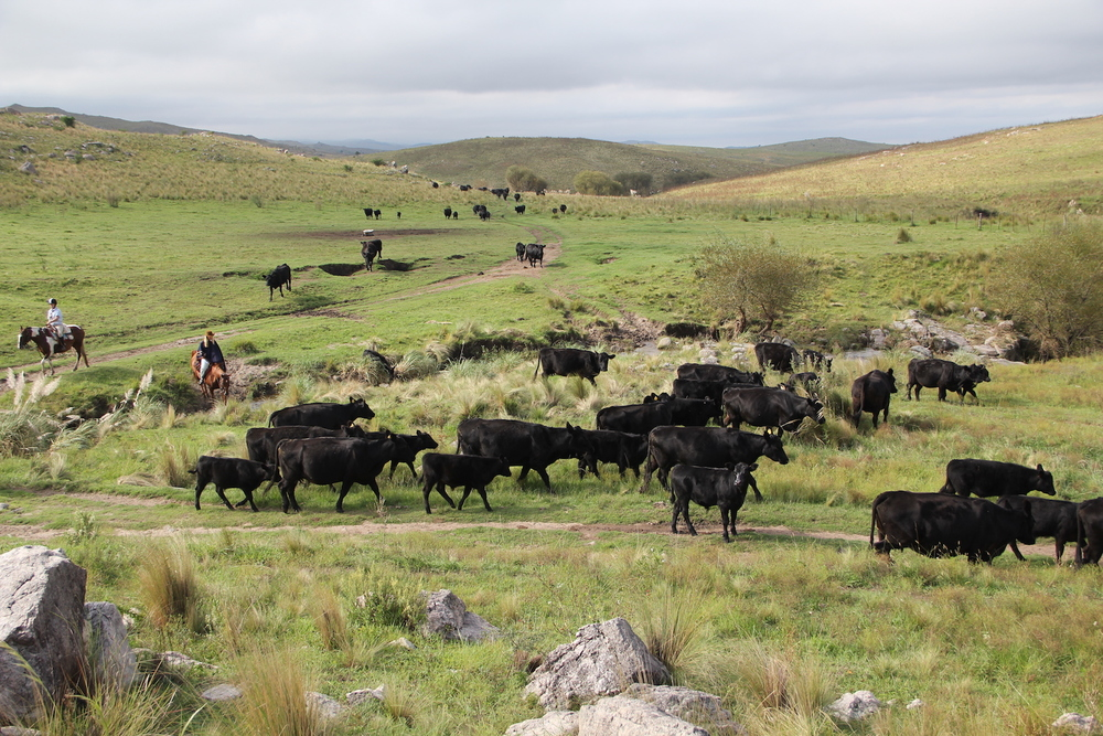 Gauchos herding the cattle at Los Potreros