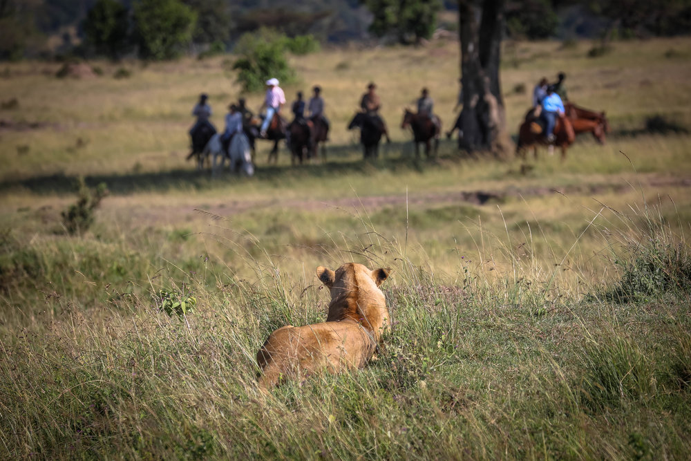 Yes that is a lion! But no it isn't on the estancia! In 2018 Lou and Kevin had the absolute privilege of riding with fellow  Riding Safari Association  members, Gordie and Felicia Church from  Safaris Unlimited  across the magical and iconic Masai Mara. We took with us some of our intrepid Los Potreros guests for the adventure of a lifetime - an 8 night epic adventure across stunning landscapes, on outstanding horses and encountering teeming wildlife, from elephants to giraffe to hippos and cheetahs and lions! We loved it so much that we are going to repeat the whole trip all over again in 2020!