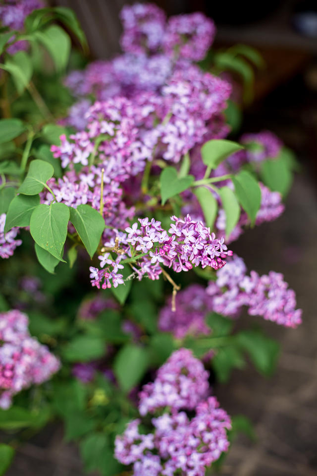 scented lilacs